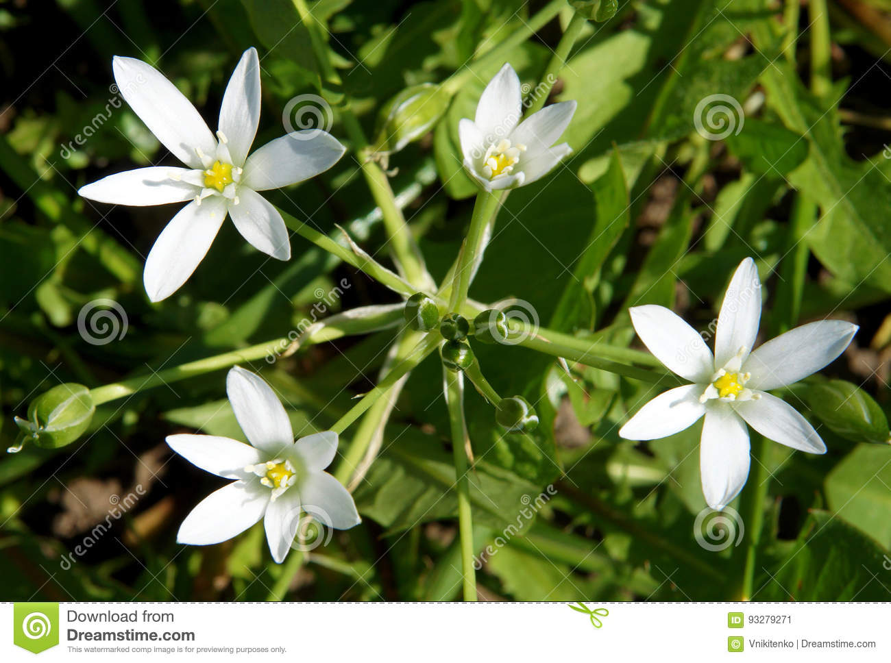 White star shaped flowers stock image image of green 93279271 download white star shaped flowers stock image image of green 93279271 mightylinksfo