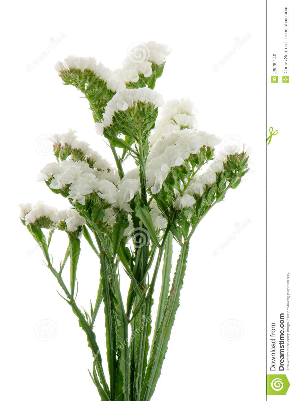 statice flowers pictures  flower, Natural flower