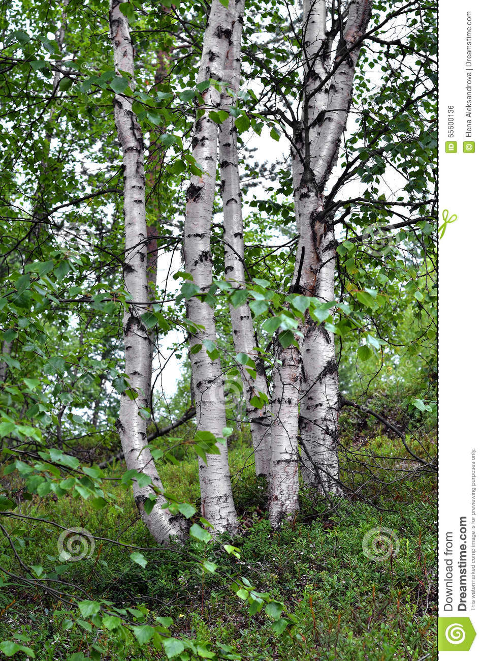 The most common trees of Russia. Their role in human life 63