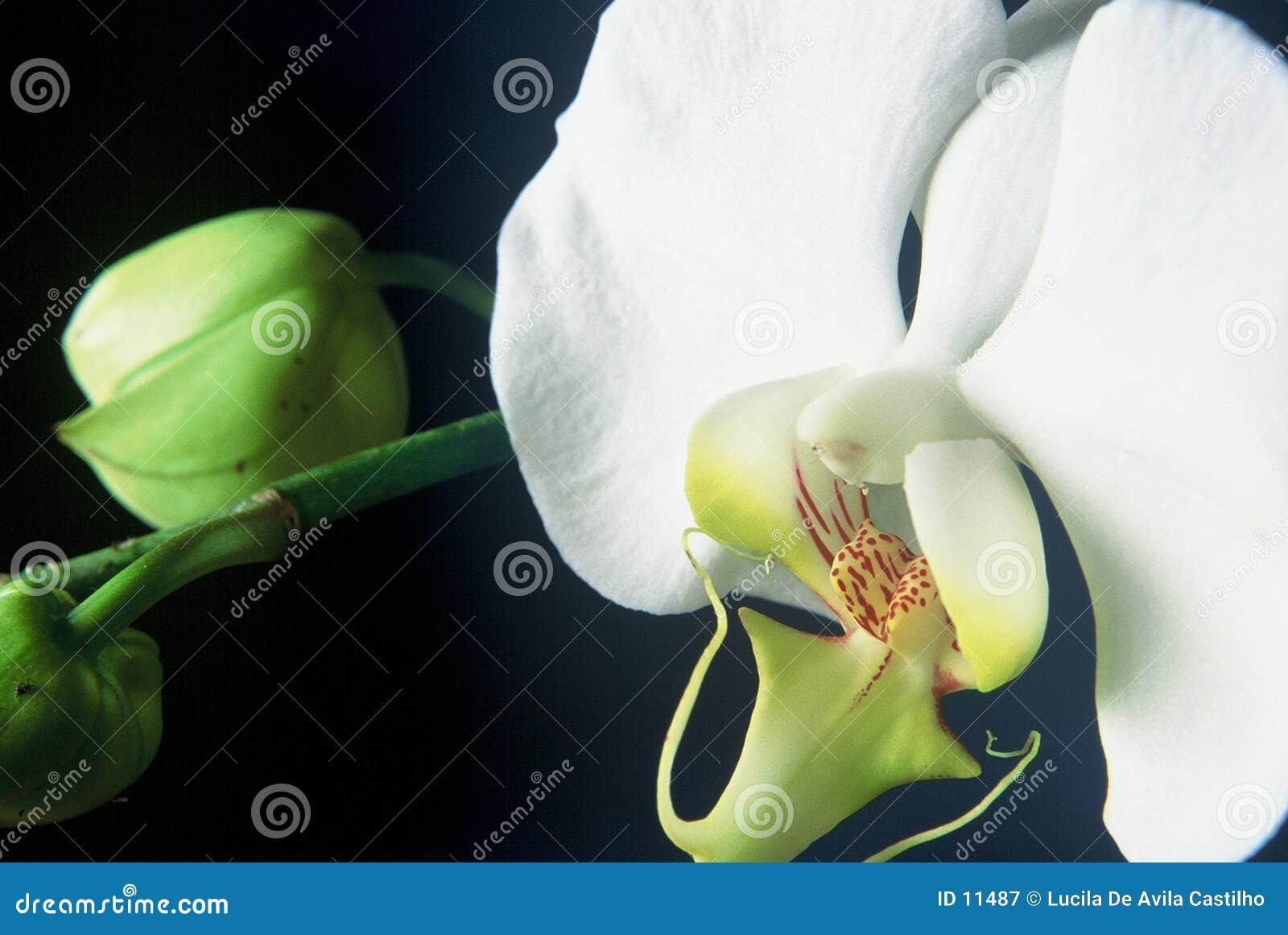 White storczykowy