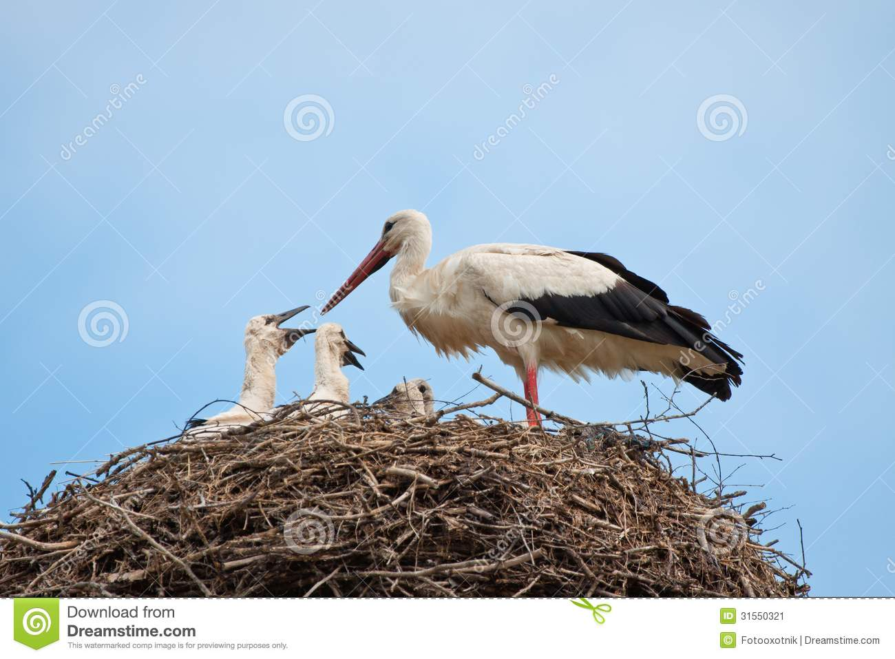 white stork with baby birds in a nest stock image image of birds