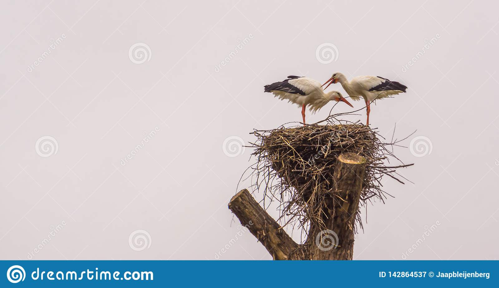 White stork couple standing together in their nest, common bird in europe, Migrated birds from Africa