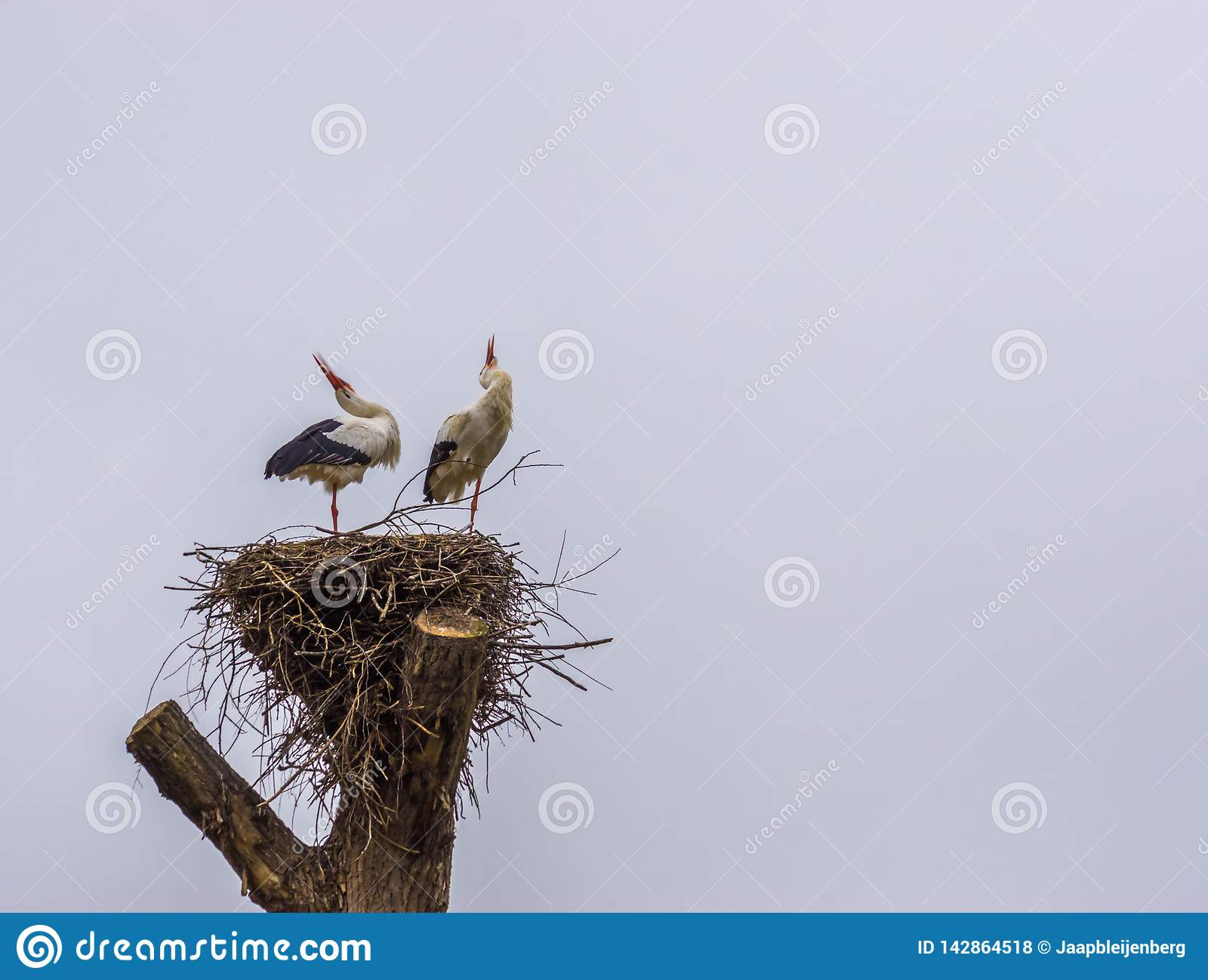 White stork couple in their nest making sound, common birds in europe, Migrated birds from Africa