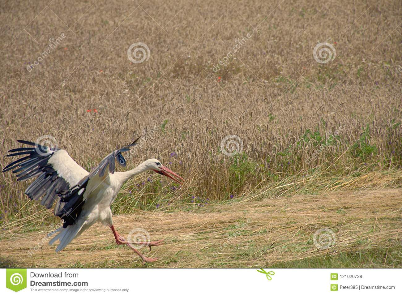 Download White Stork on Field stock photo. Image of wetland, green - 121020738
