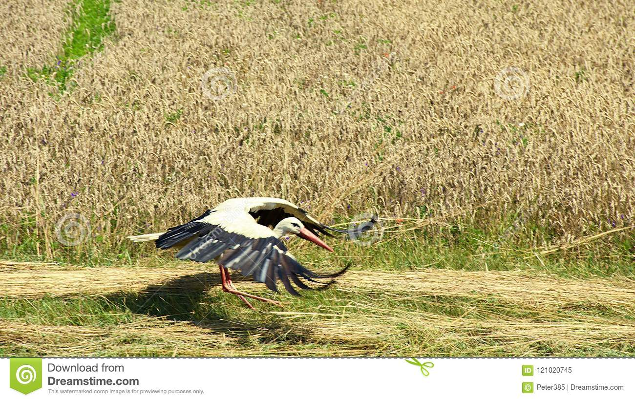 Download White Stork on Field stock image. Image of white, summer - 121020745