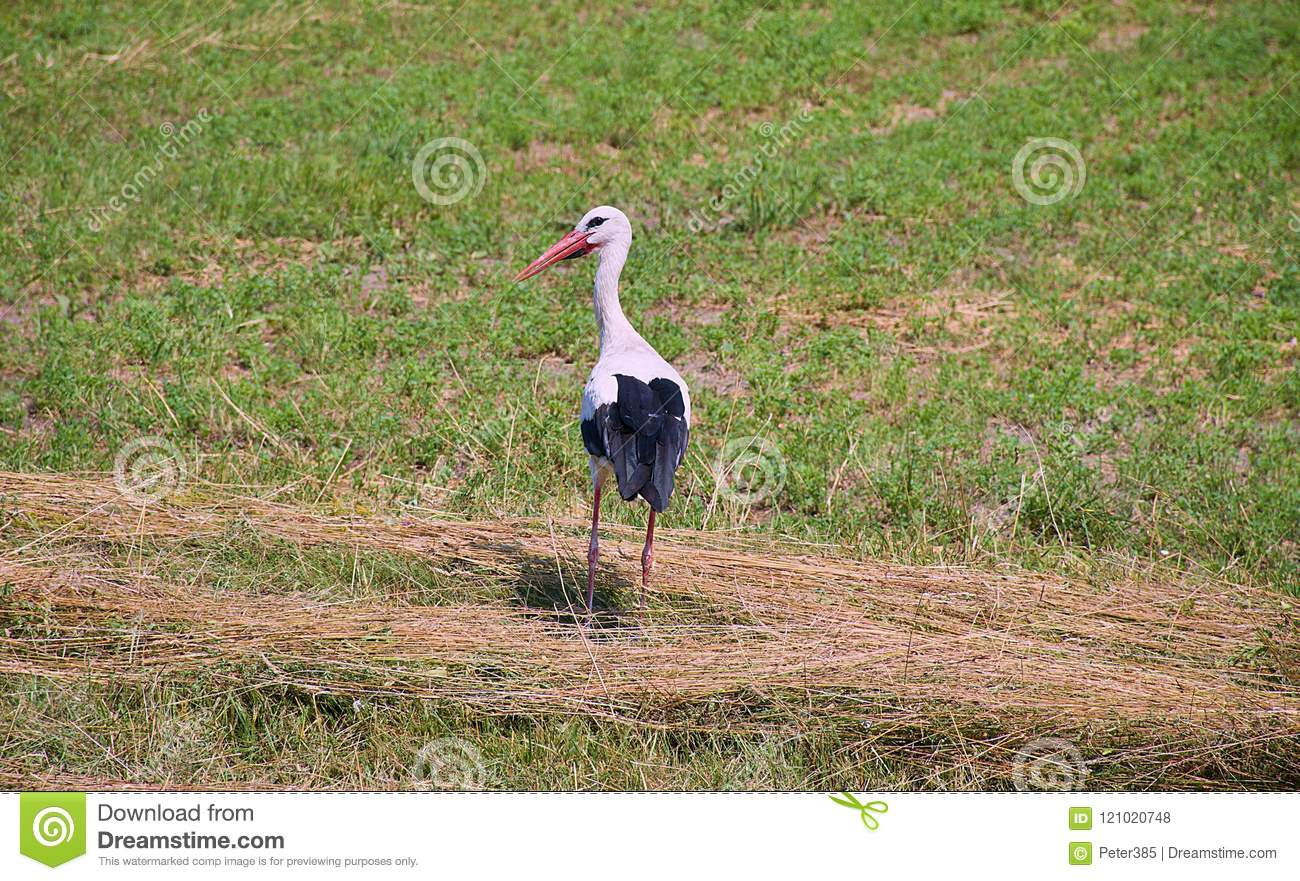 Download White Stork on Field stock photo. Image of walking, wildlife - 121020748