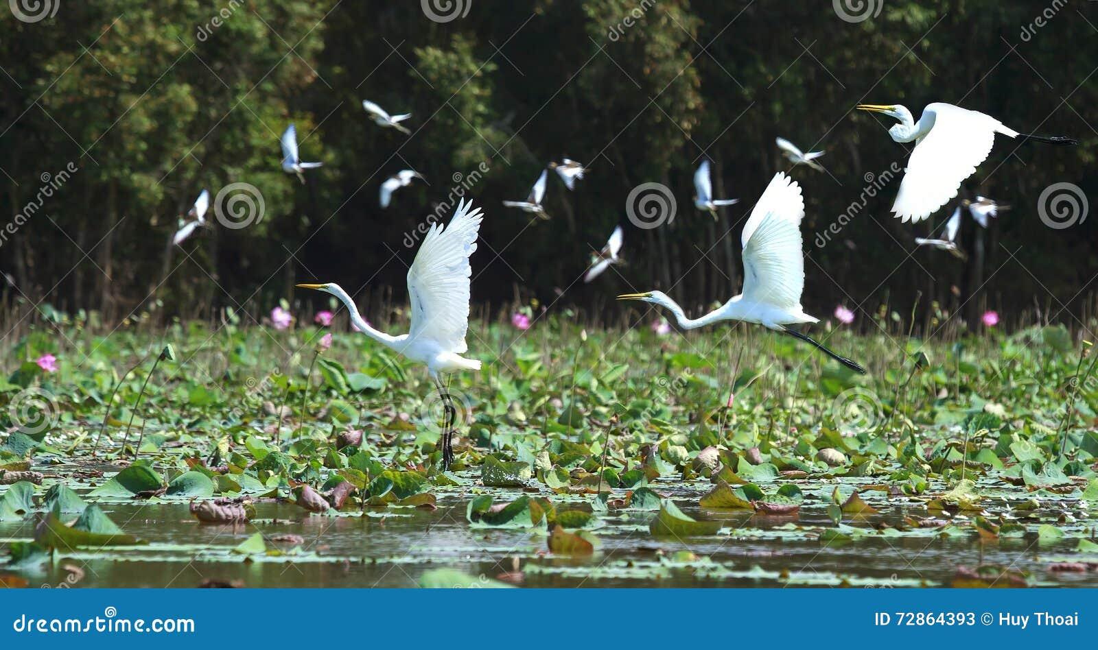White stork in flight above nest