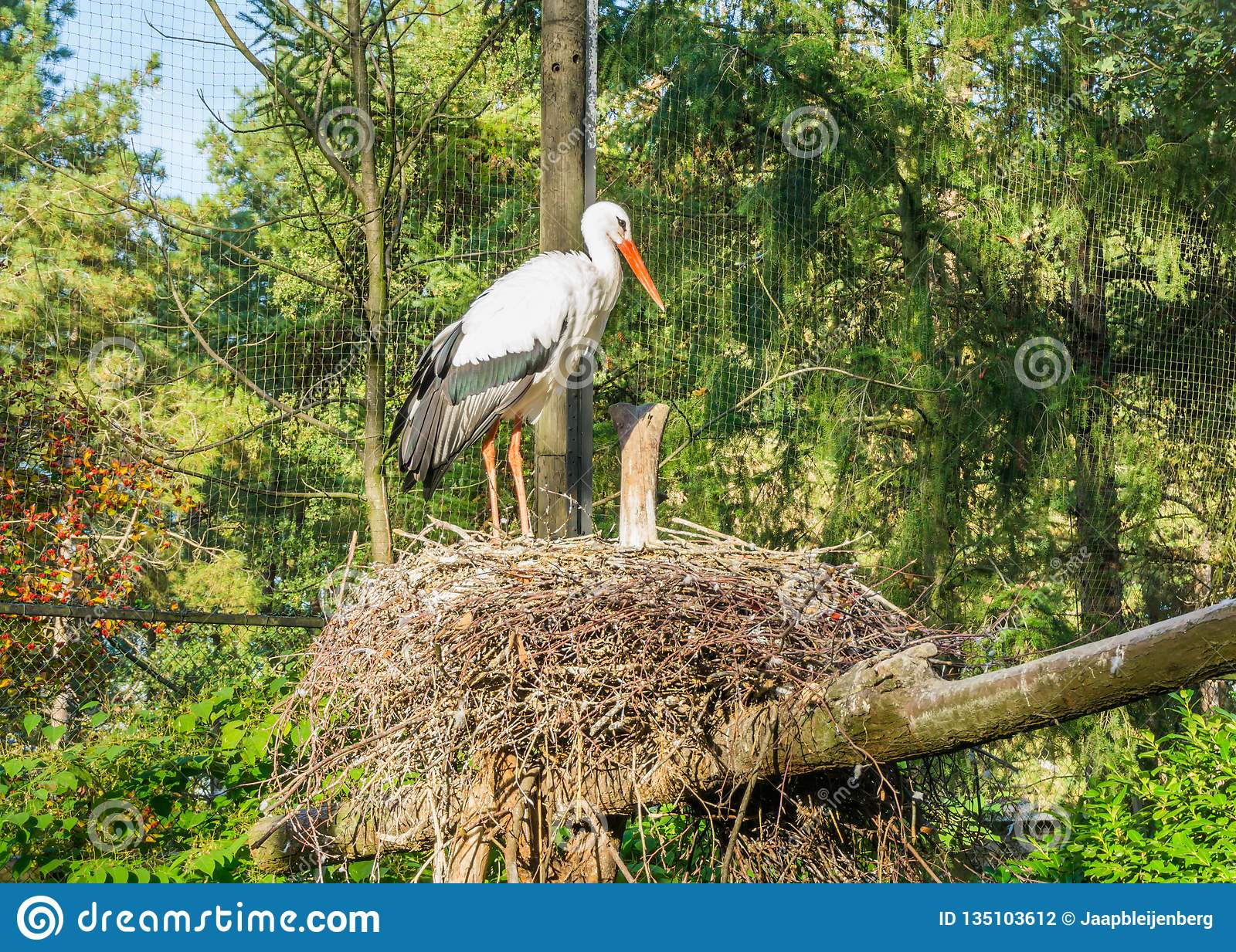White Stork Standing In Its Nest, A African Bird That Migrated To