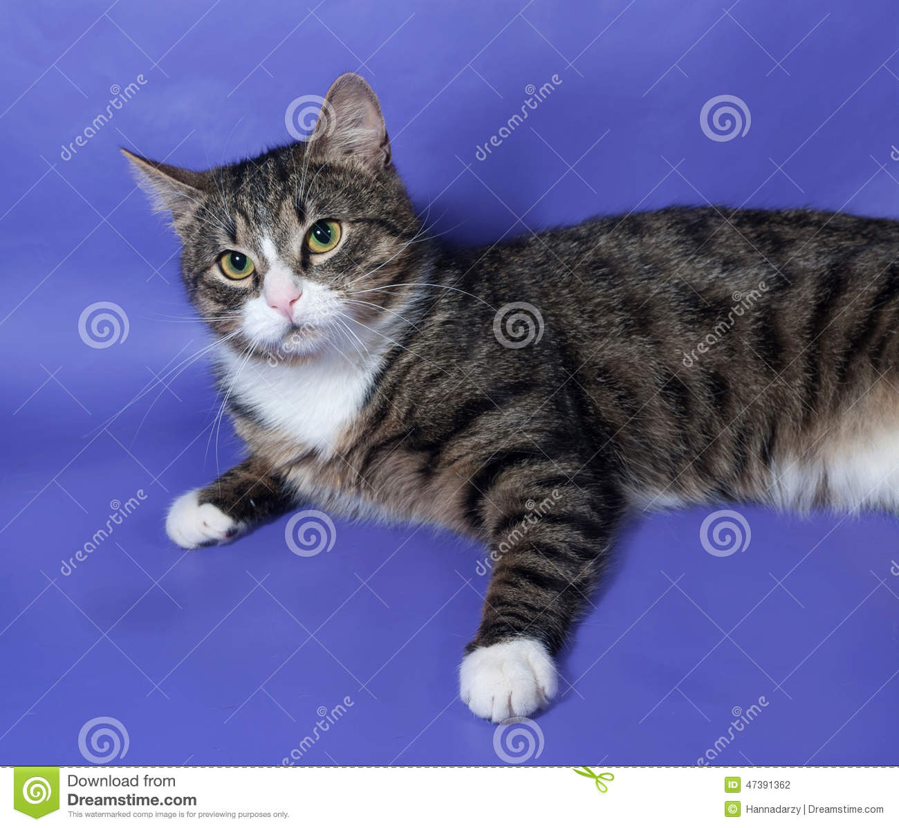 84e5ee1e9d White And Striped Spotted Cat Lying On Blue Stock Photo - Image of ...