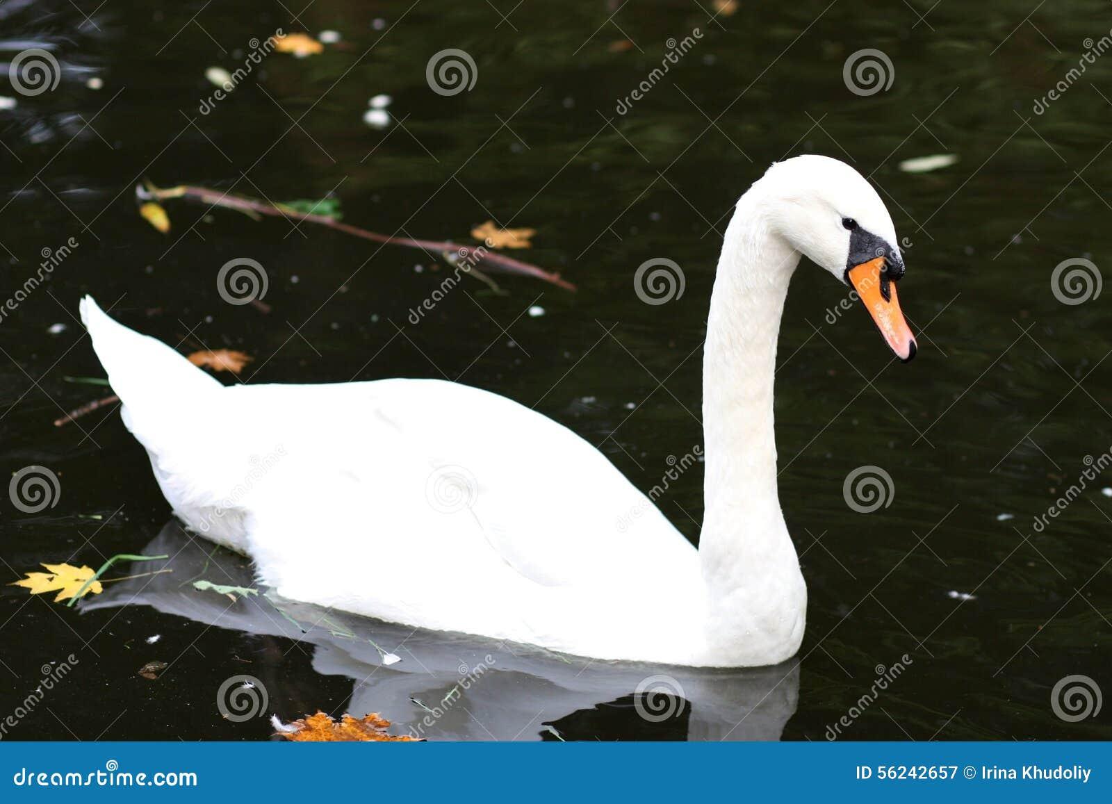White Swam Stock Photo...
