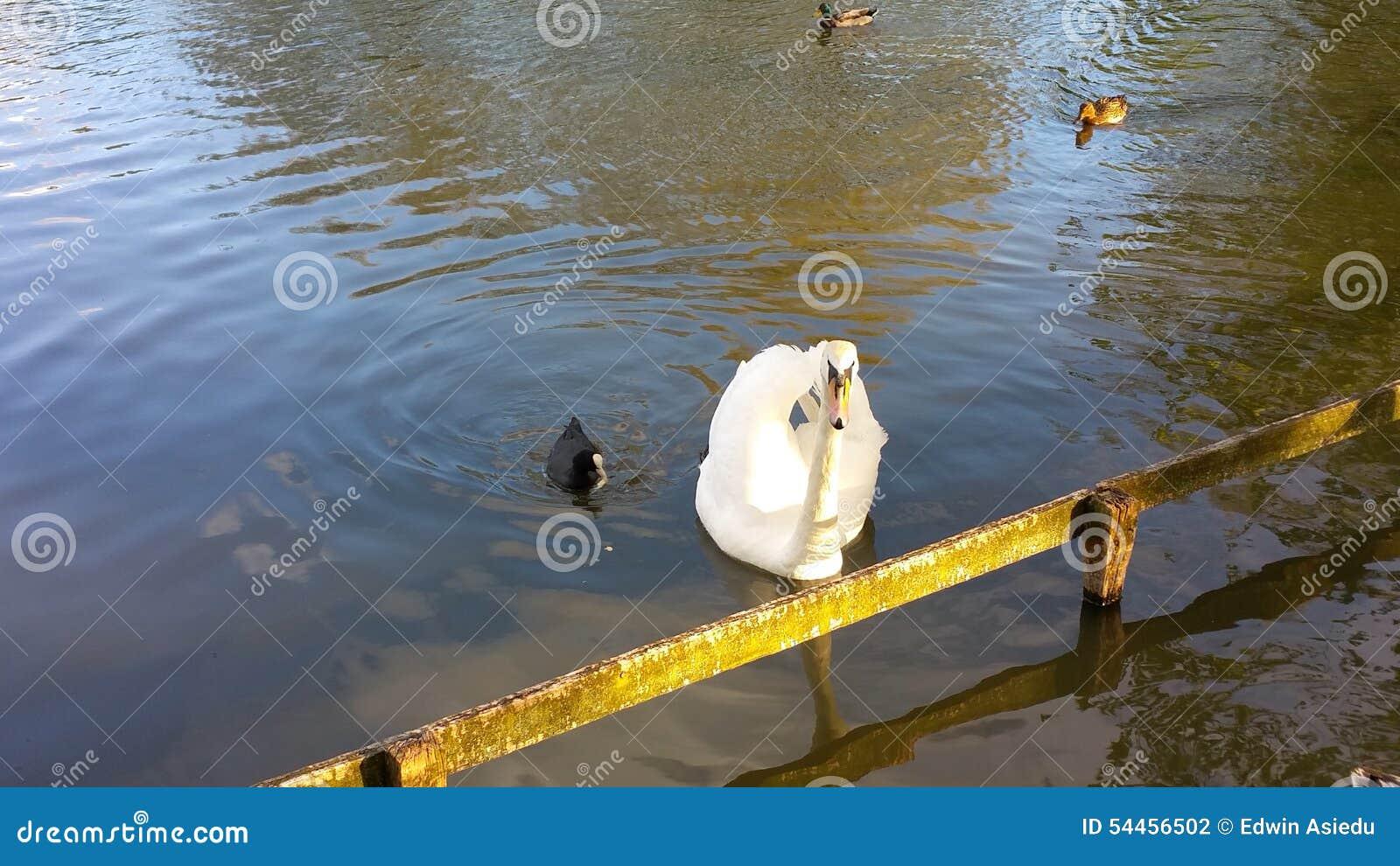 White Swan and black duck swimming