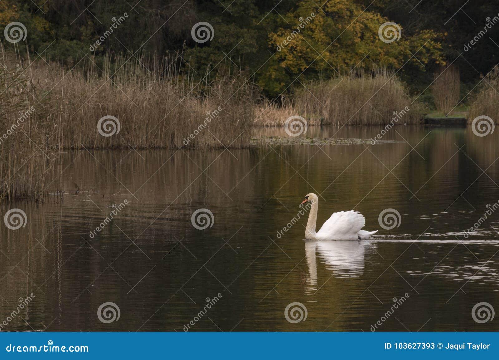 White swan on a dark morning
