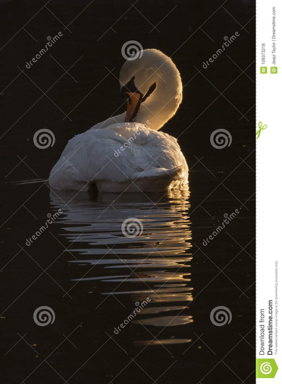 A white swan in the early morning light Southampton