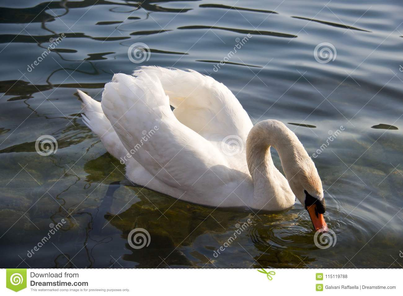 White swan with beack under water eating