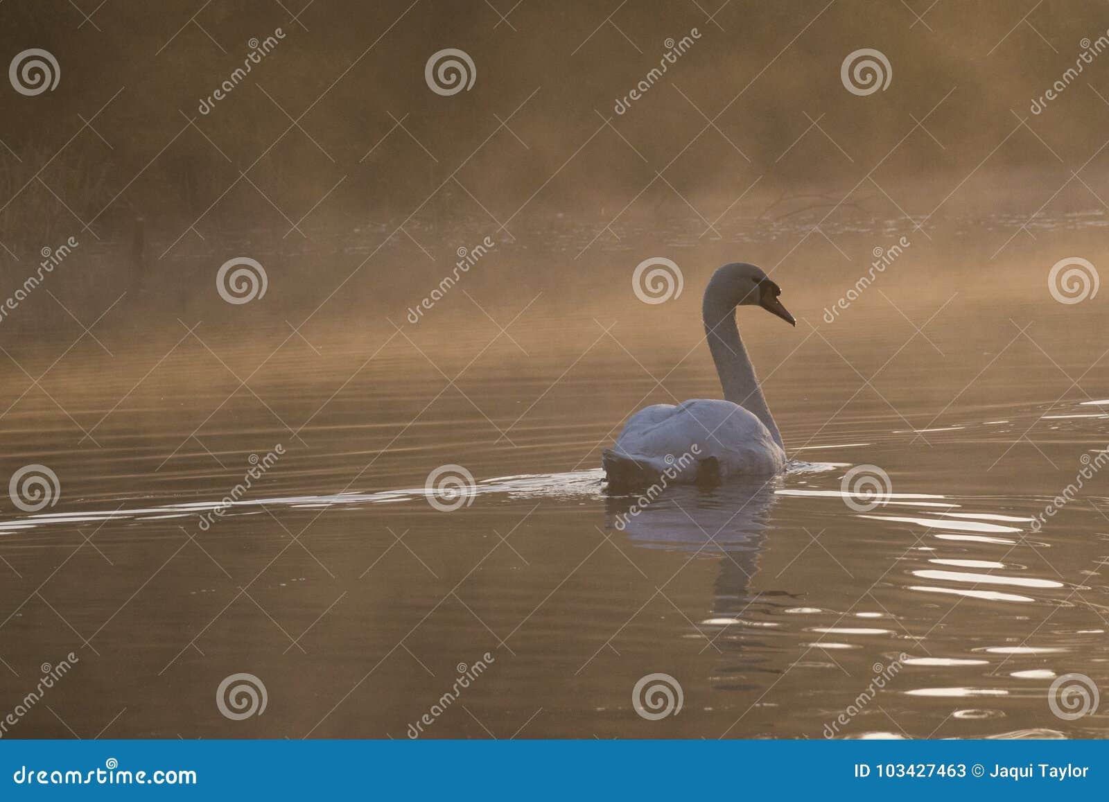 White swan in golden misty light