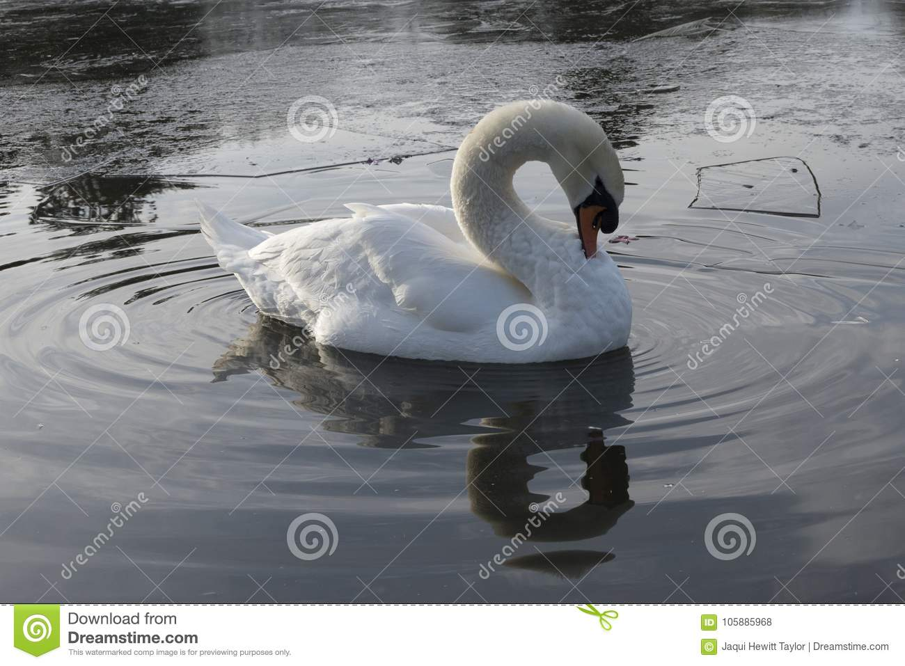 A white swan in an icy pond