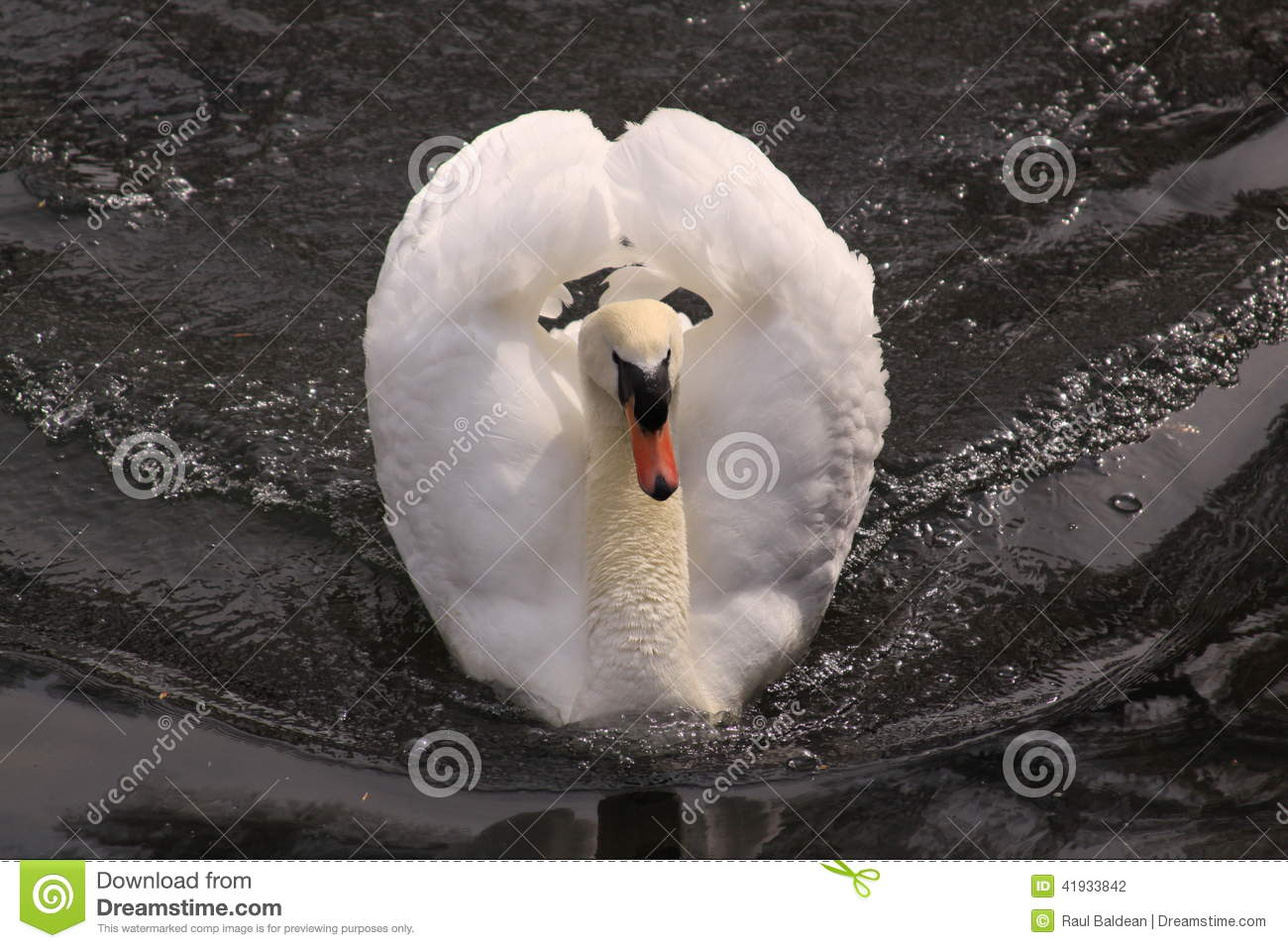 White swan on a lake in Ireland