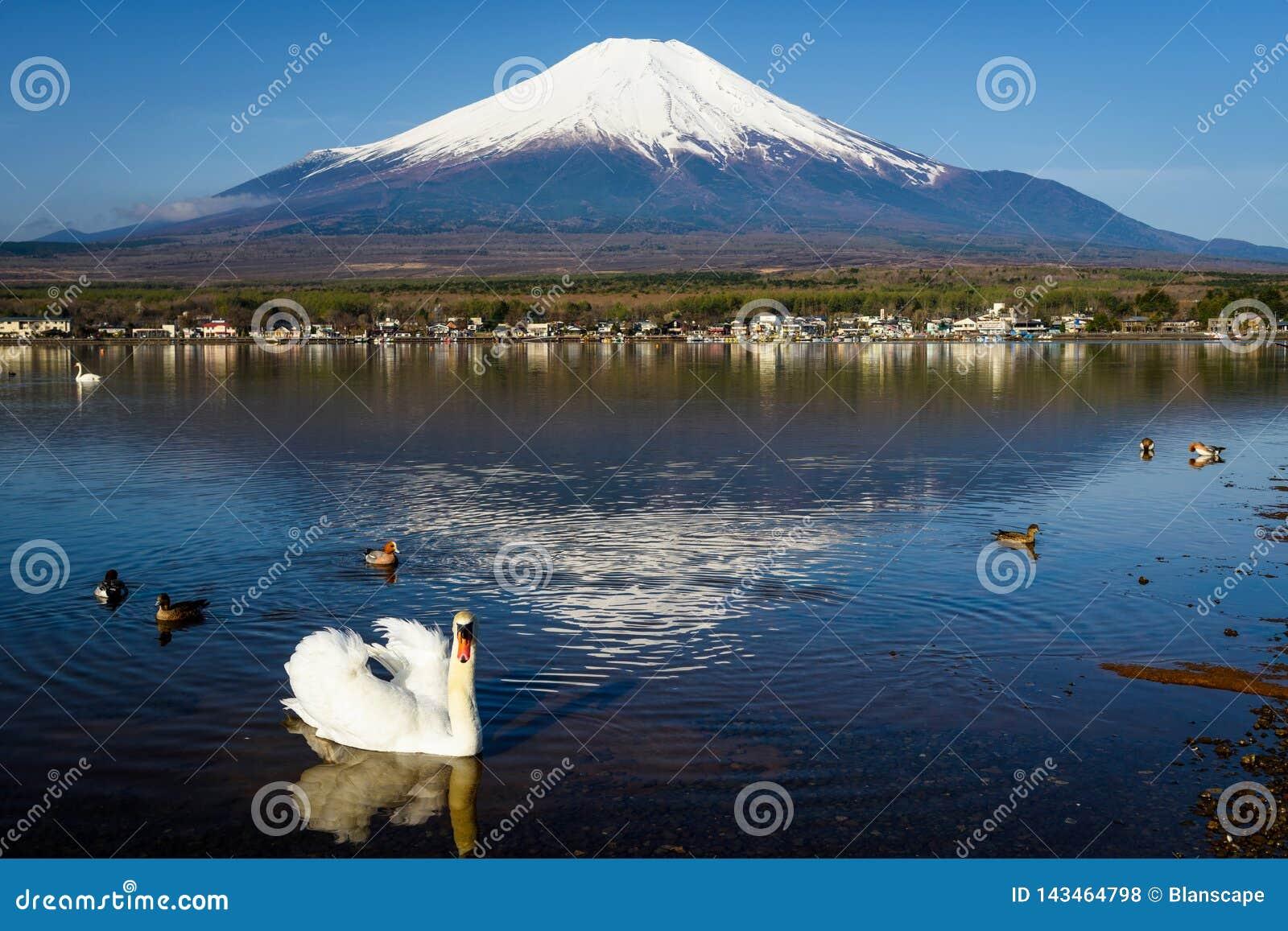 White swan at lake yamanaka with Fuji