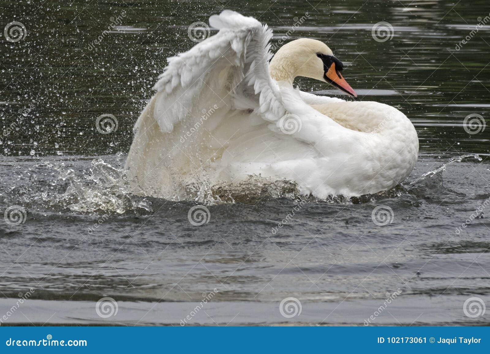 A white swan