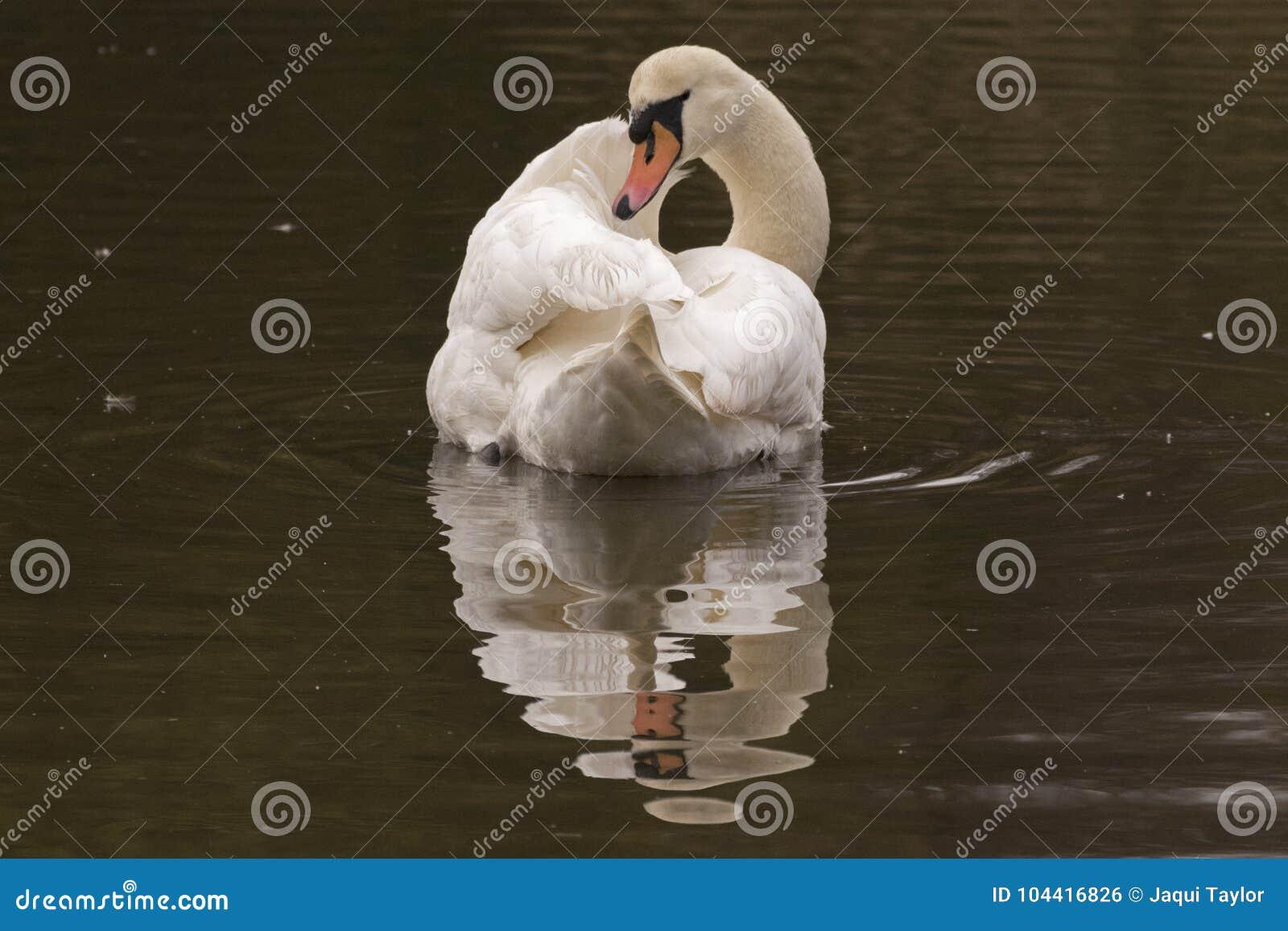 A white swan on the Ornamental Pond, Southampton Common