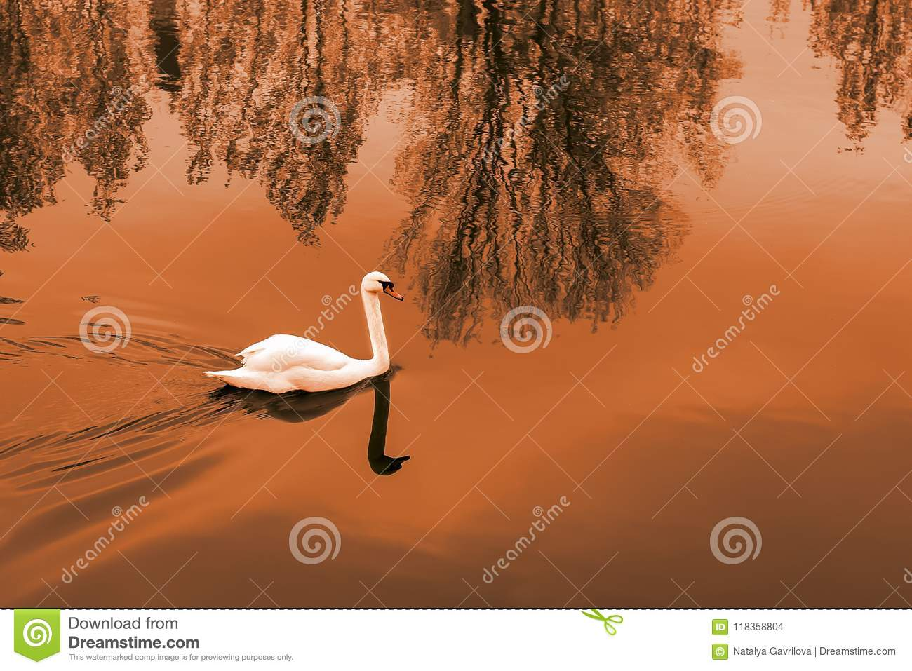 White Swan on the pond at sunset