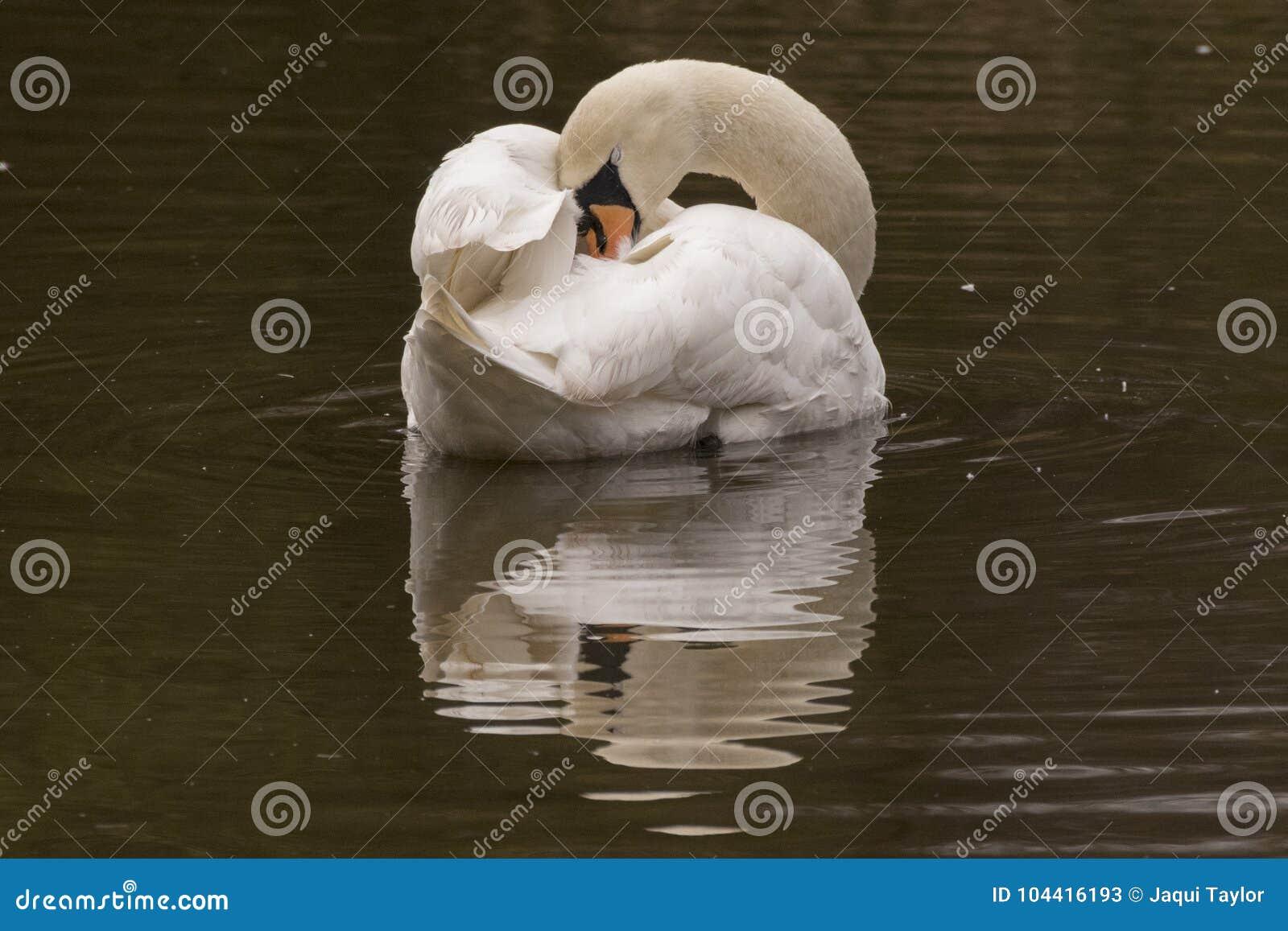A white swan sleeping on the Ornamental Pond, Southampton Common