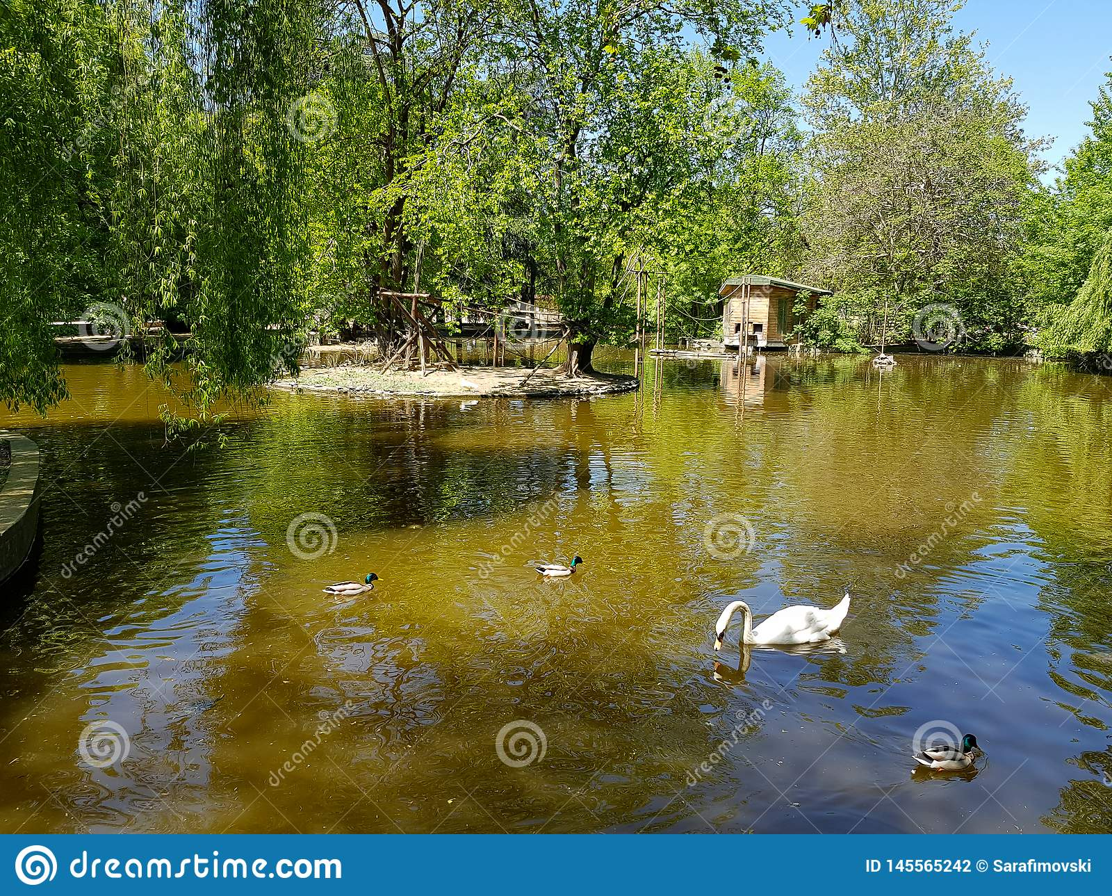 A white swan swimming in the peaceful pond or lake with ducks around it.