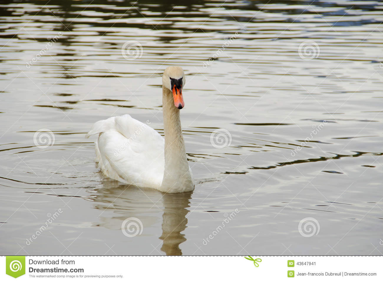 White swan swimming on water stock photo image 43647941 for Lake front view