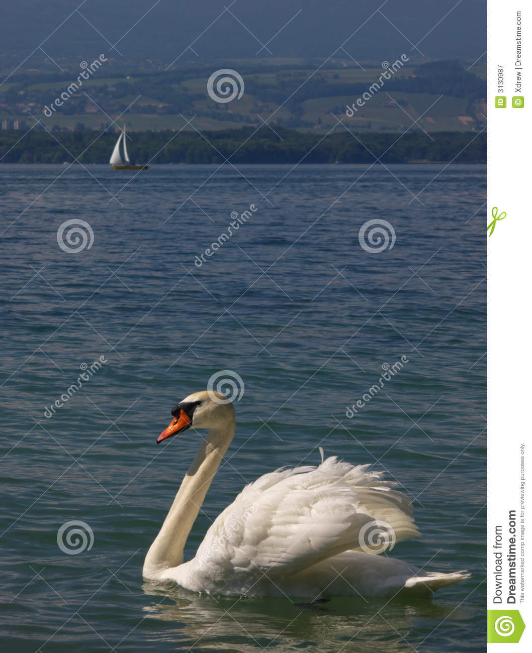 White swan and yacht