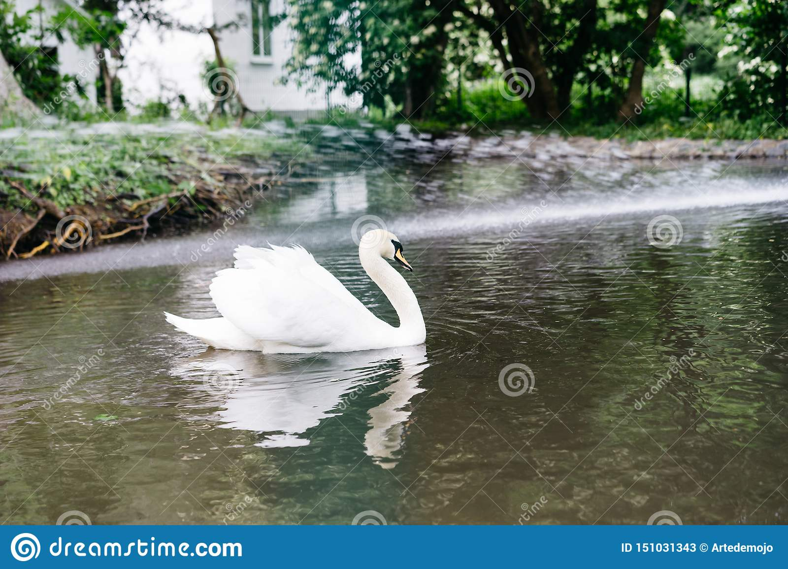 White swan in the zoo swims in the pond