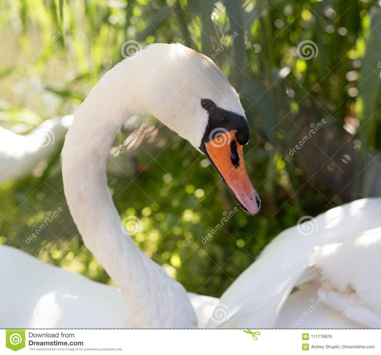 White swan in the zoo