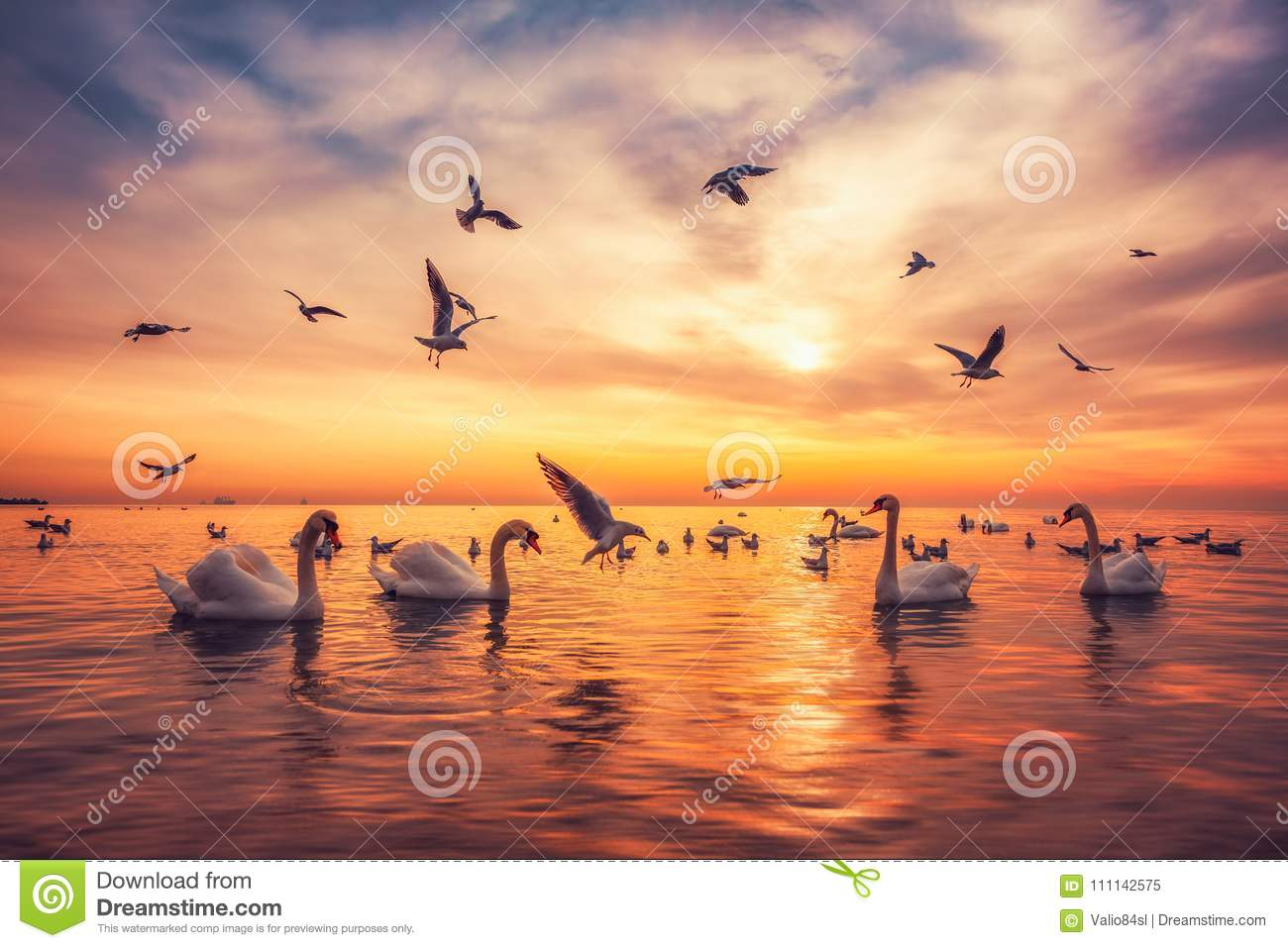 White swans swimming in the sea water and flying seagulls in the sky ,sunrise shot