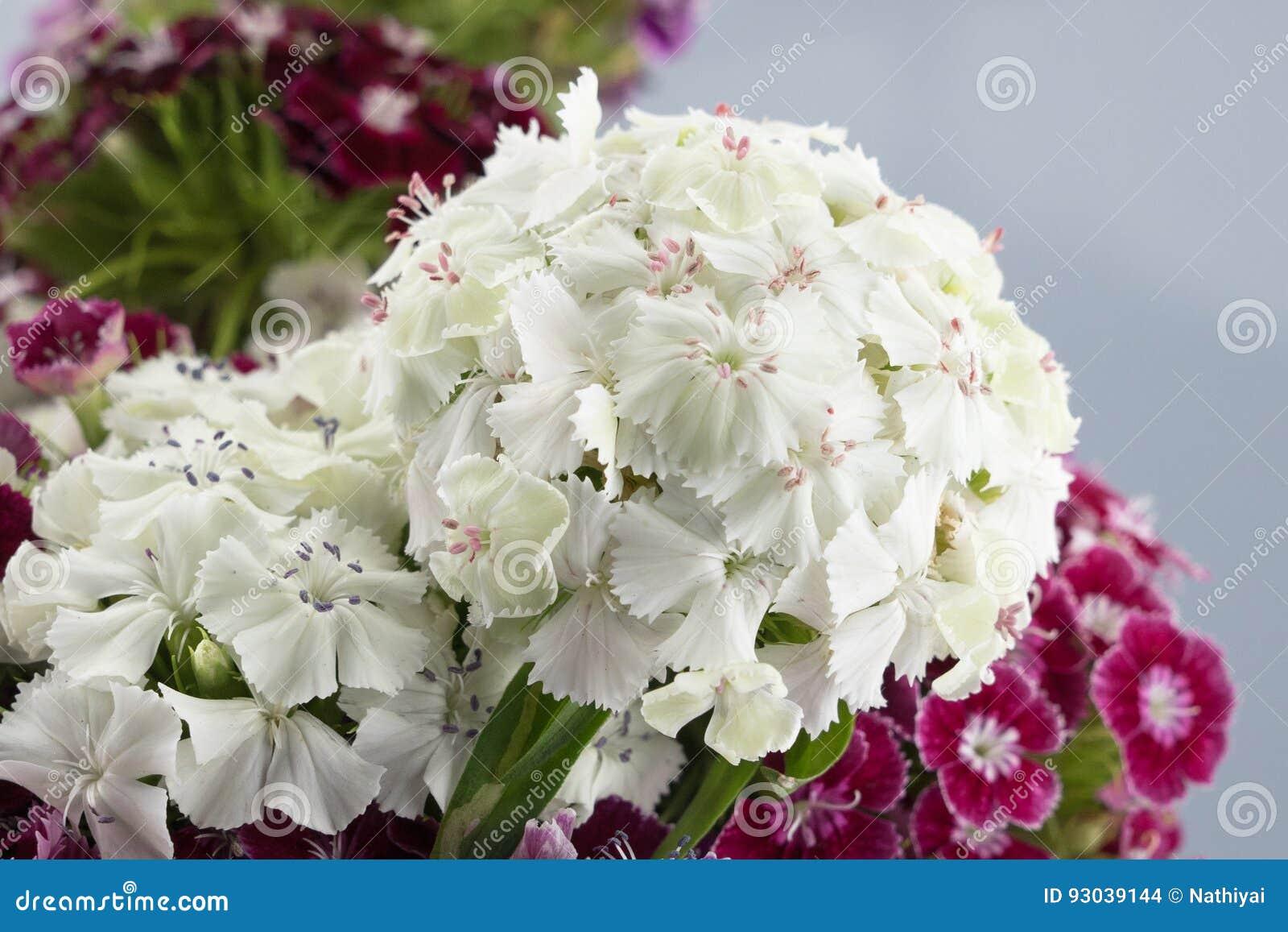 White Sweet William Flowers Stock Photo Image Of Isolated Plant