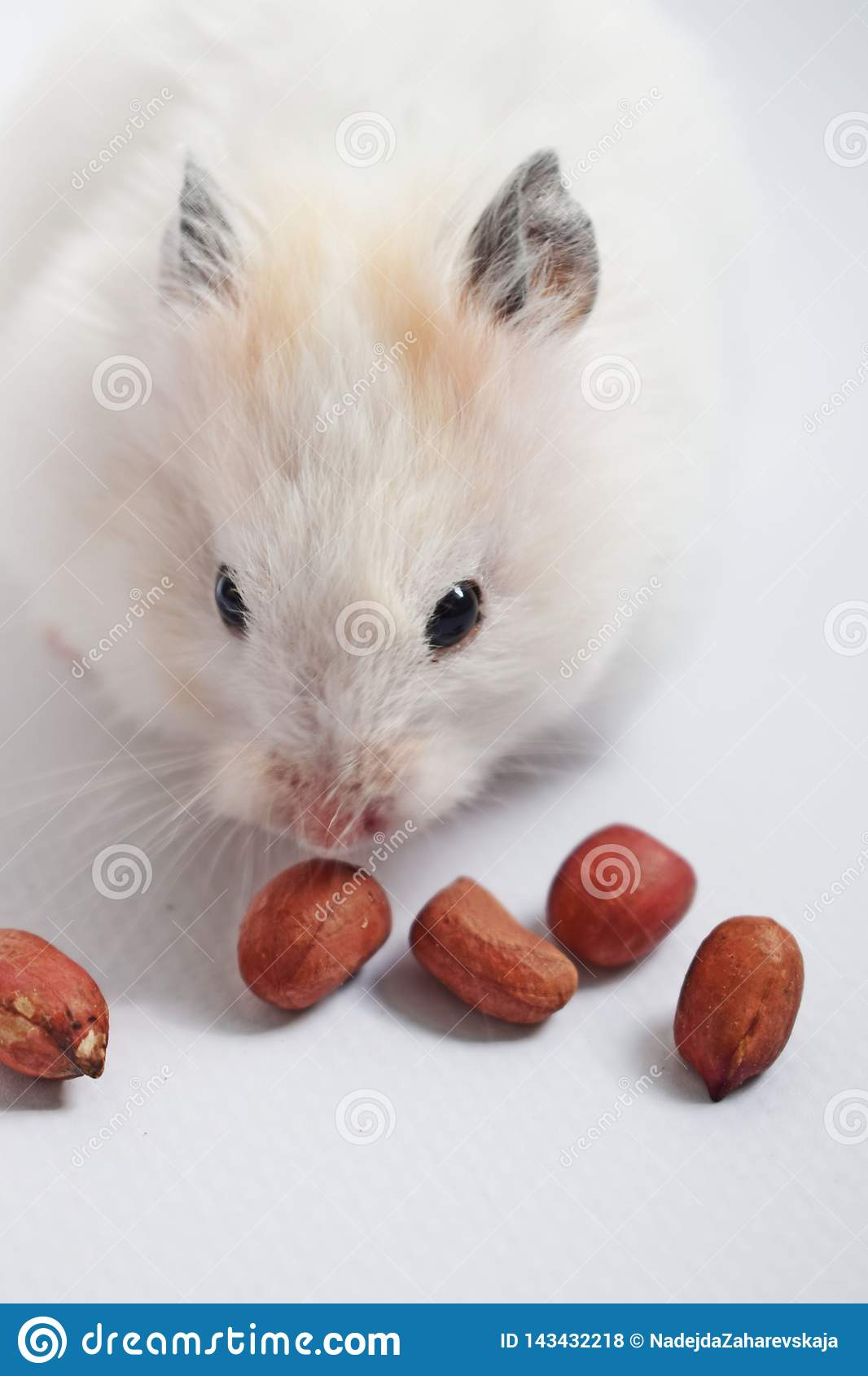 White Syrian hamster  stock photo  Image of adorable - 143432218