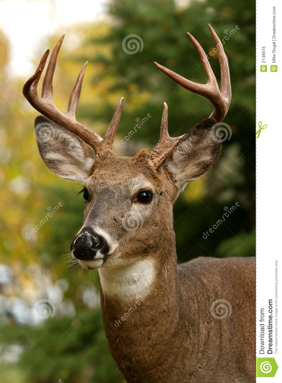 White Tailed Deer Royalty Free Stock Photo - Image: 2146615