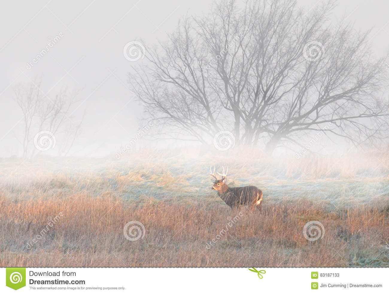 White-tailed deer buck in Canada