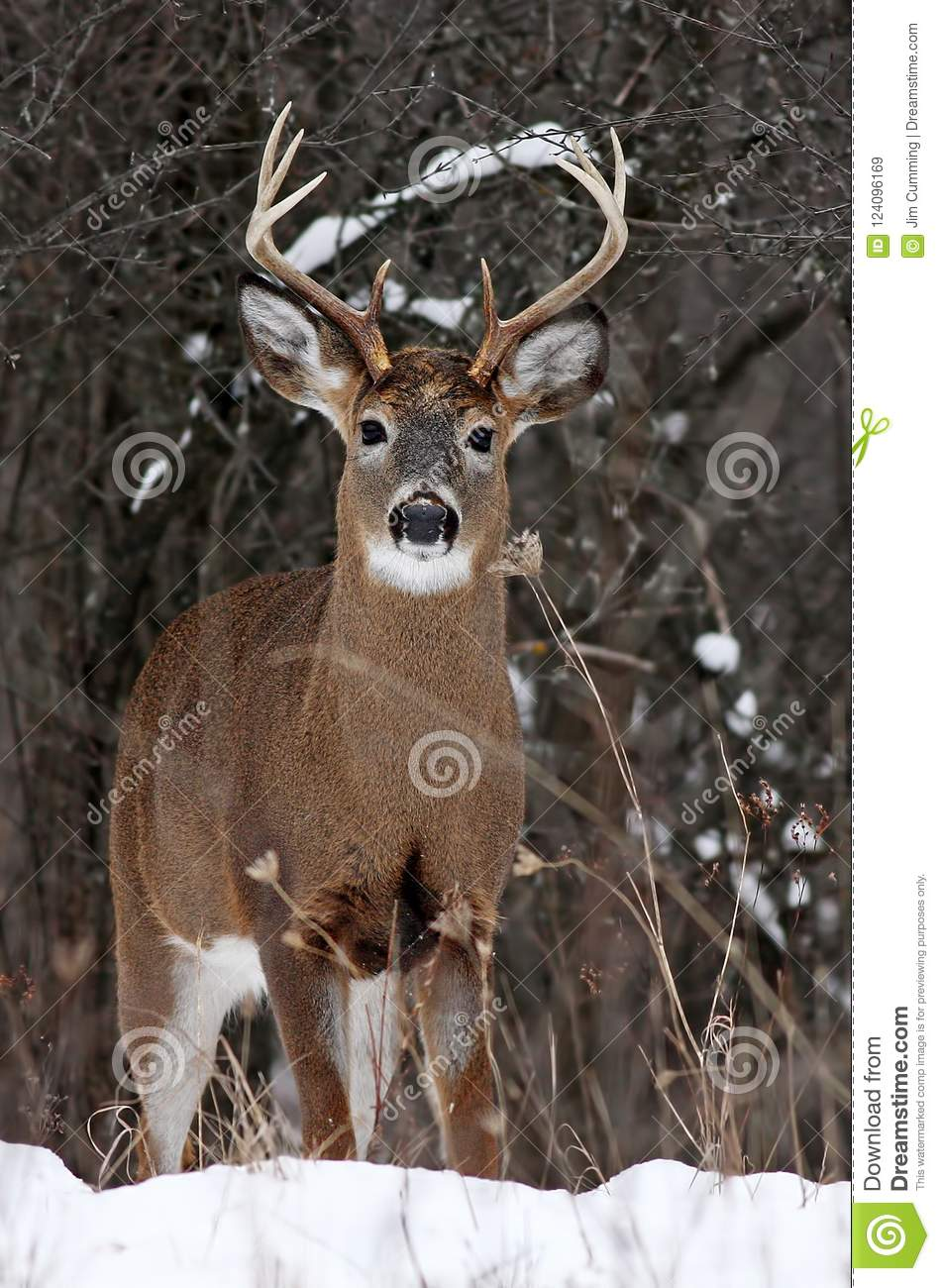 A White-tailed deer buck in the winter snow in Canada