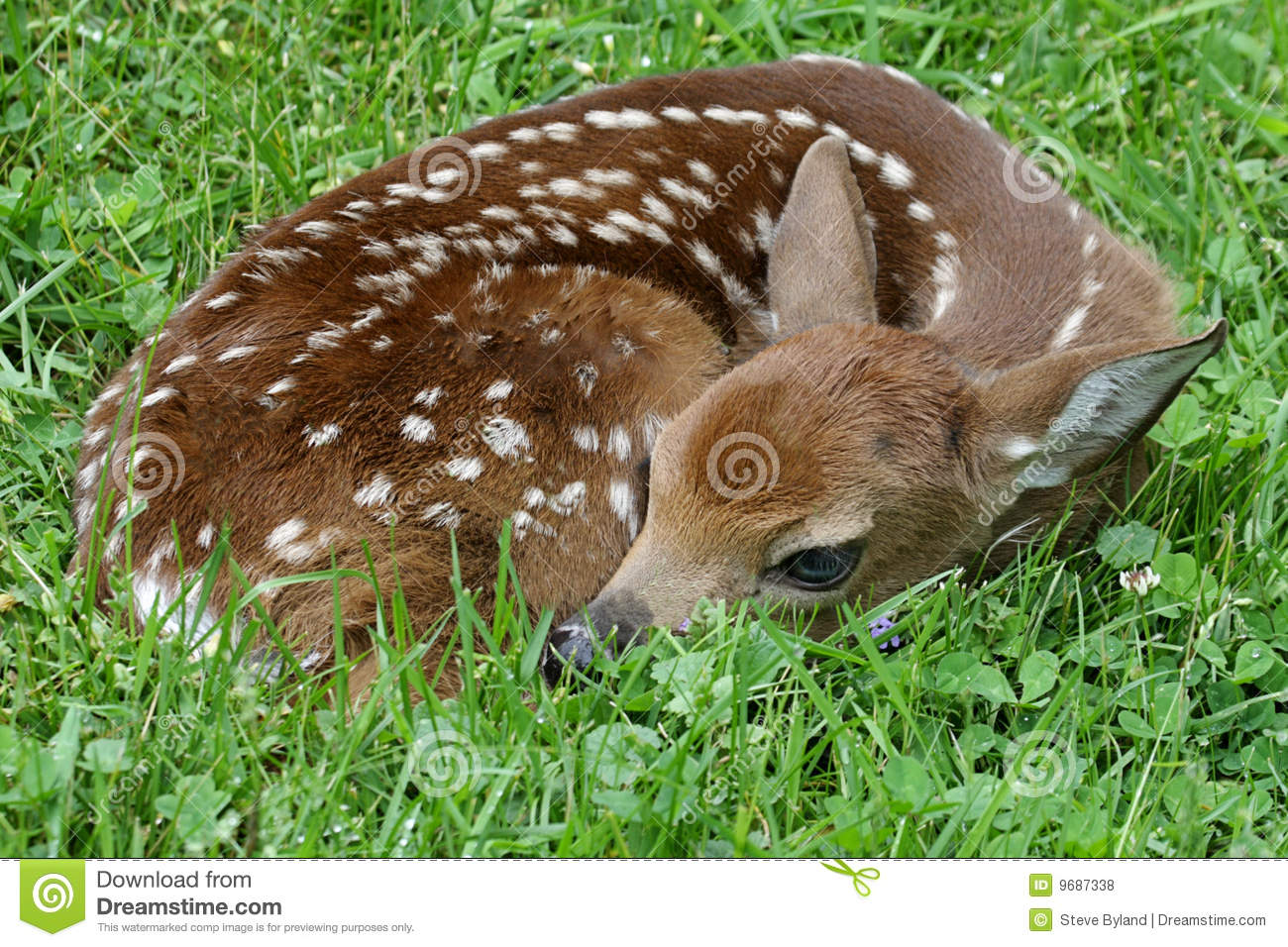 White-tailed Deer (Odocoileus virginianus) Fawn just a little over an ...