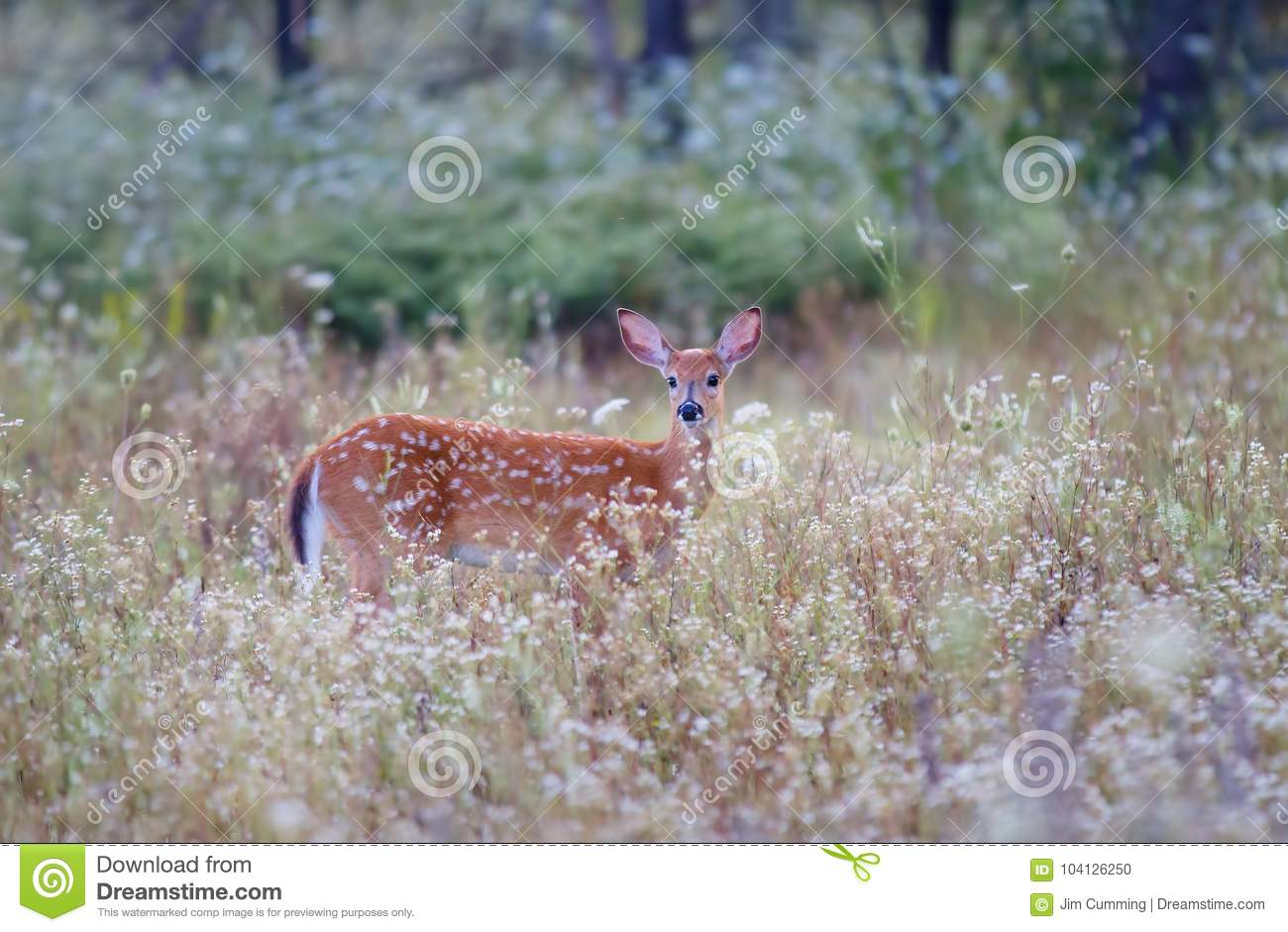 White-tailed deer fawn (Odocoileus virginianus) in amongst the wildflowers