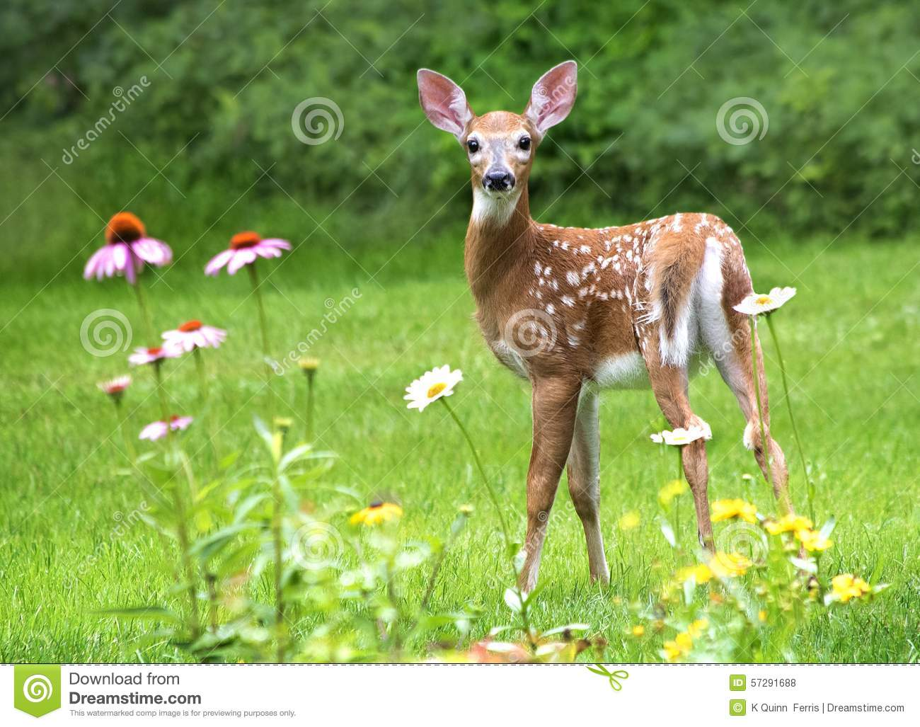 White Tailed Deer Fawn stock photo. Image of virginianus ... - photo#31