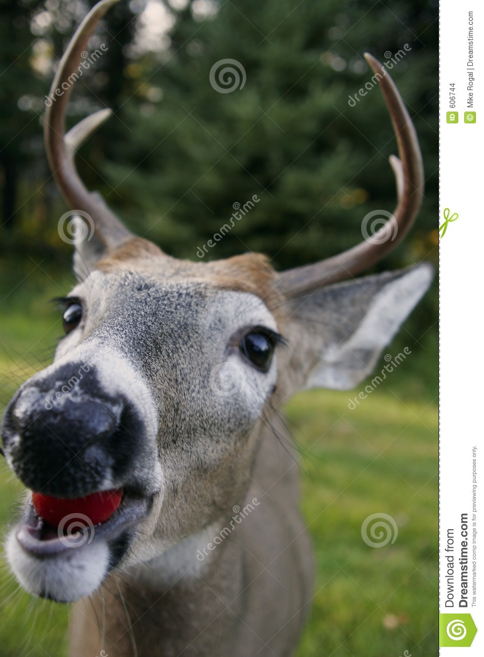 White tailed deer head