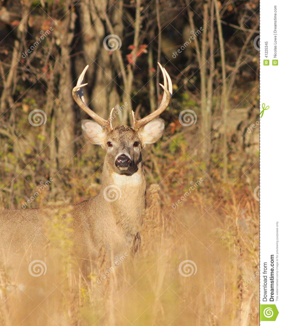 the northern white tailed deer in north america Home catalog north america white-tailed deer hunting in north america clear all filter by: destination species combo hunt  there are numerous opportunities to hunt white-tailed deer in west virginia, and we have some great deer hunting.