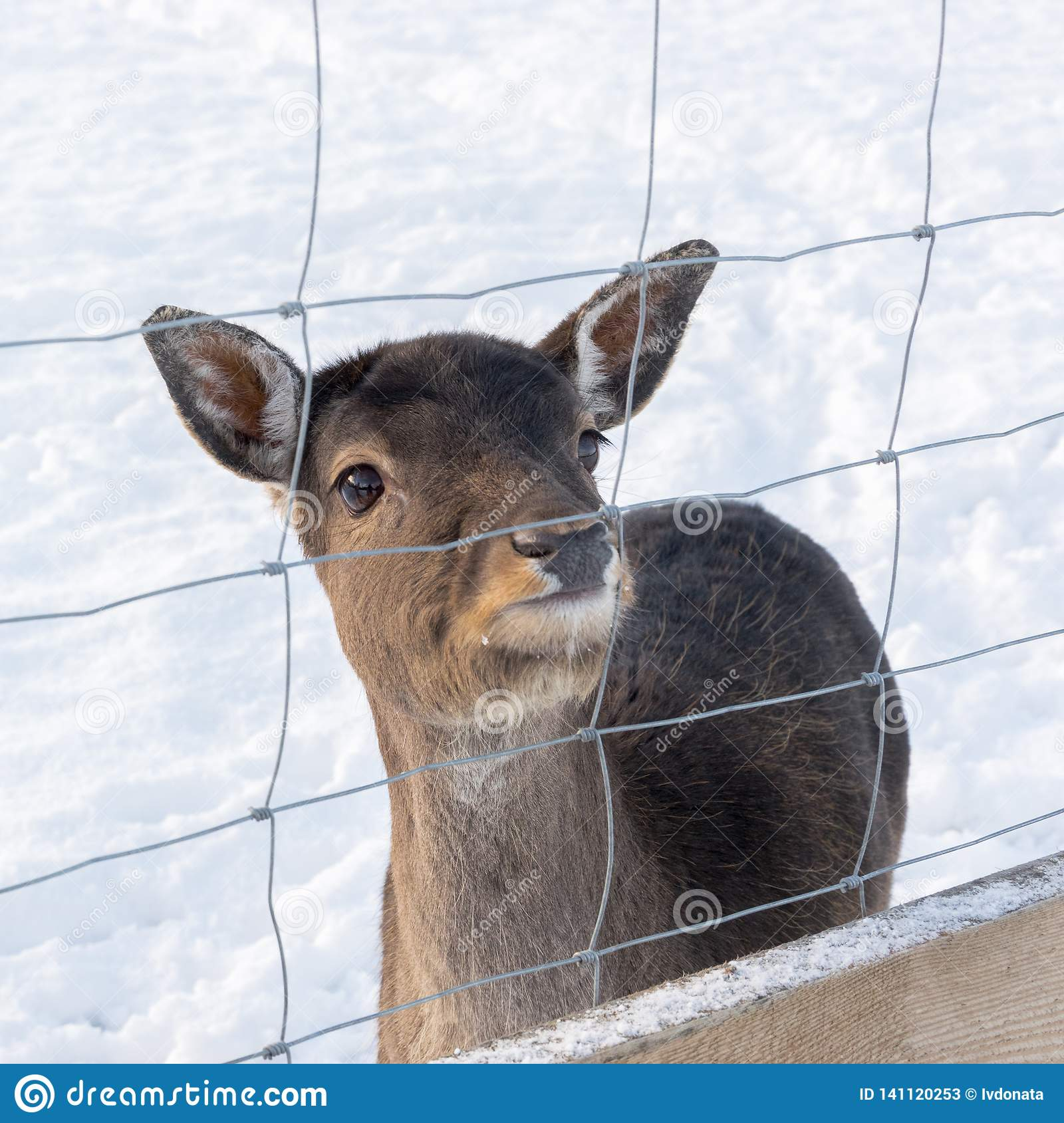 White-Tailed Deer, Odocoileus virginianus, Sniffs Behind Fawn`s Ears - captive animals