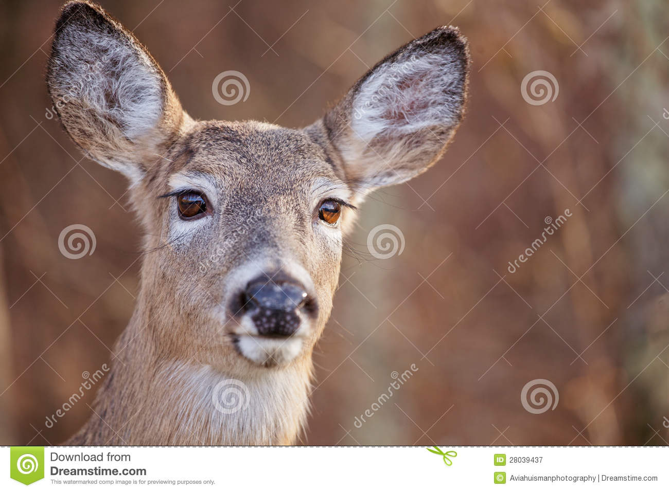 White tailed deer portrait royalty free stock photography image