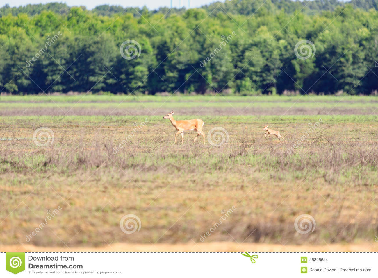 A white-tailed doe and her fawn walk across a field in Bald Knob Wildlife Refuge in Bald Knob
