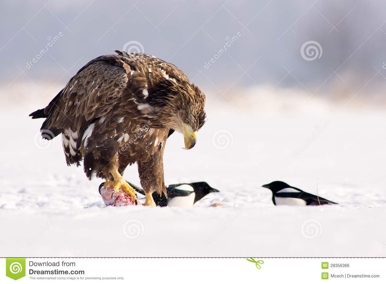Eagle eating meat - photo#22