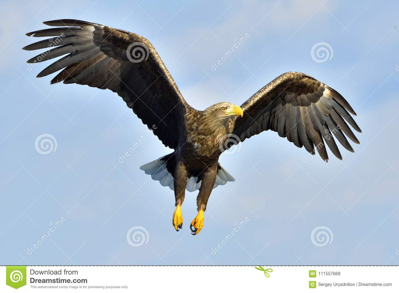 White-tailed eagle in flight, fishing. Adult white-tailed eagle Haliaeetus albicilla, also known as the ern, erne, gray eagle, E