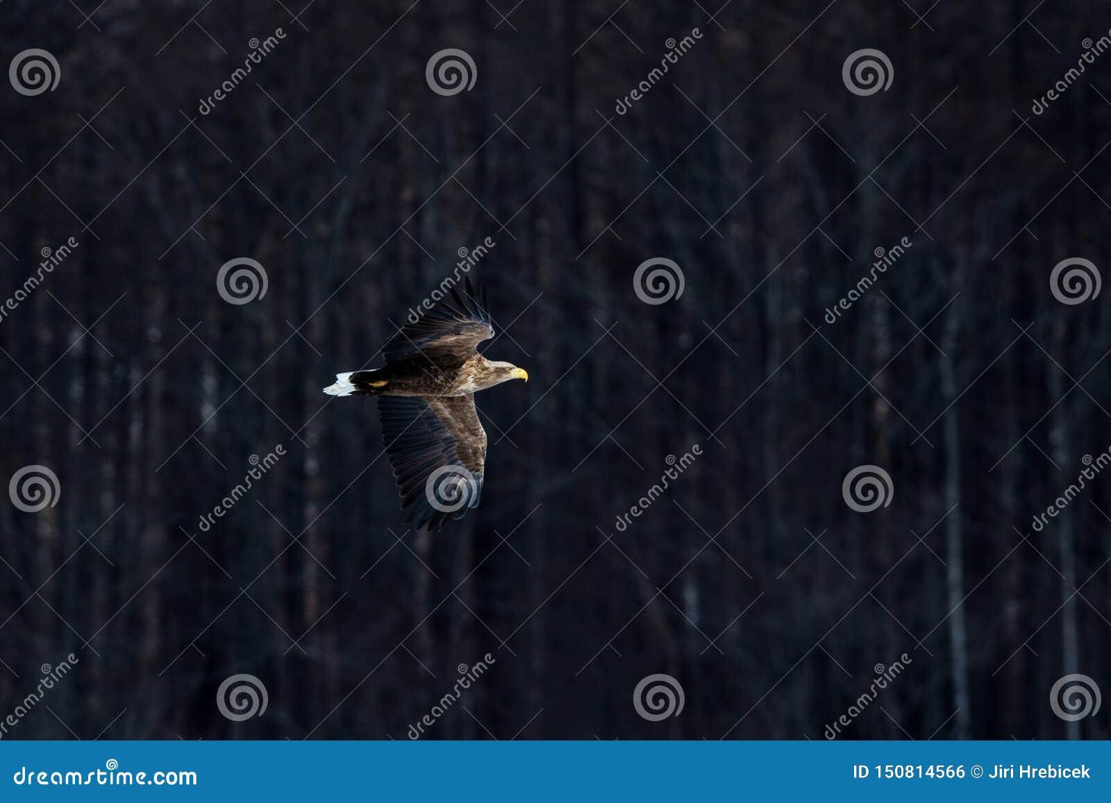 White Tailed Eagle In Flight Eagle Flying Againstdark