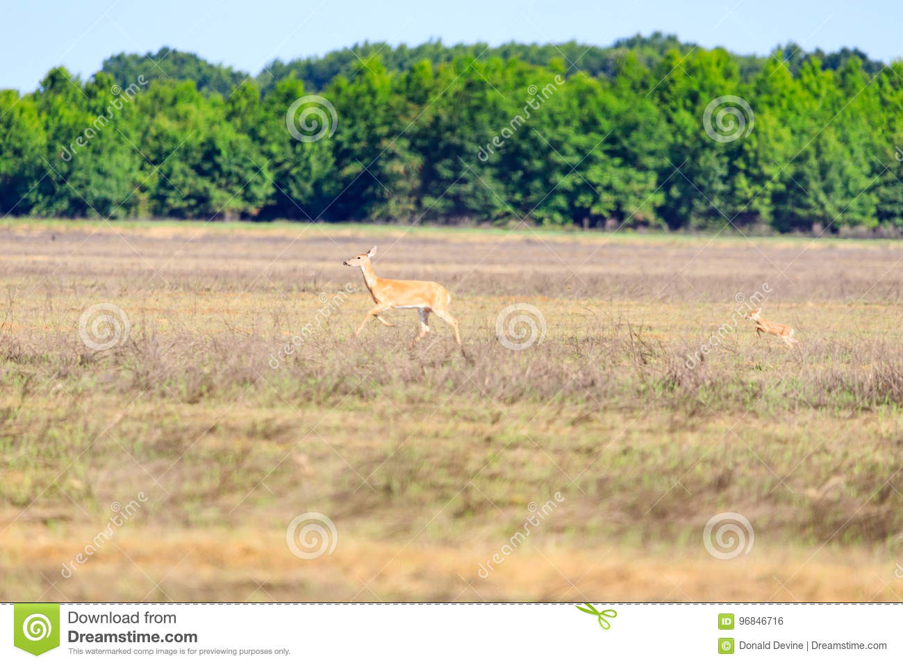 A white-tailed, Odocoileus virginianus, doe and her fawn walk across a field in Bald Knob Wildlife Refuge in Bald Knob