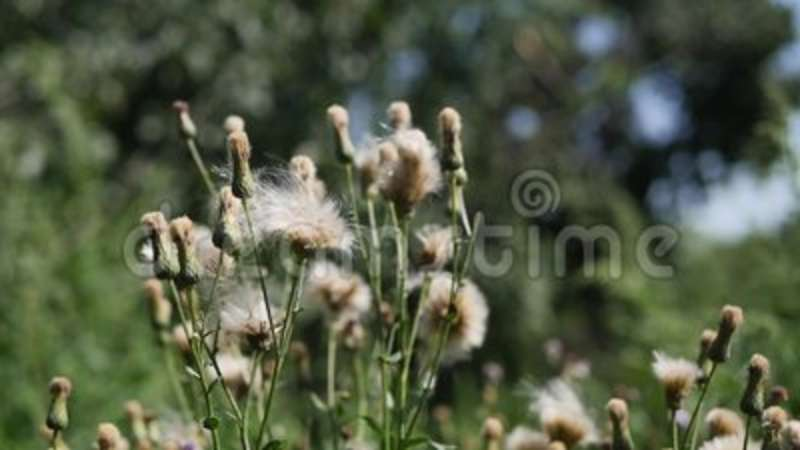 White thistle flowers stock footage image of thistle 98516180 mightylinksfo